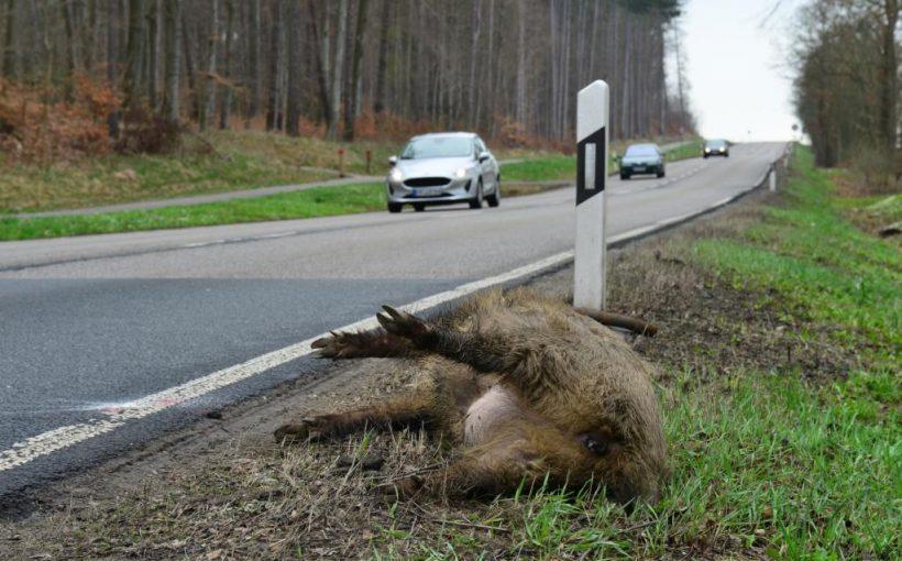 Totes Wildschwein am Straßenrand