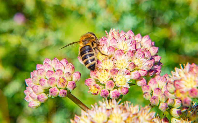 Honigbiene auf Sedum telephium