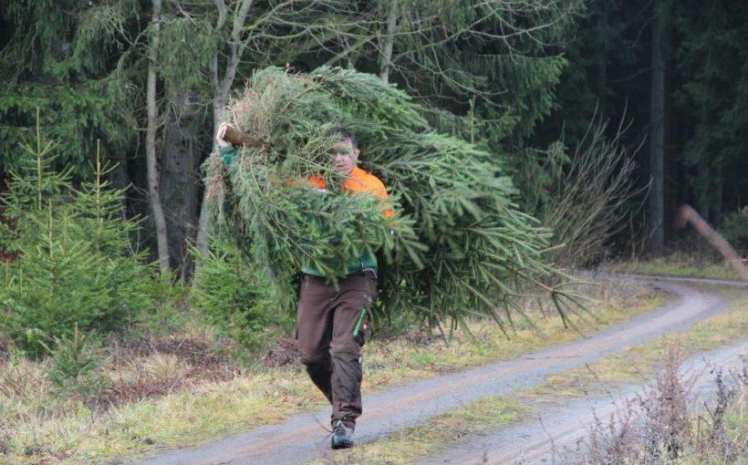 Weihnachtsbaum selbst geschlagen
