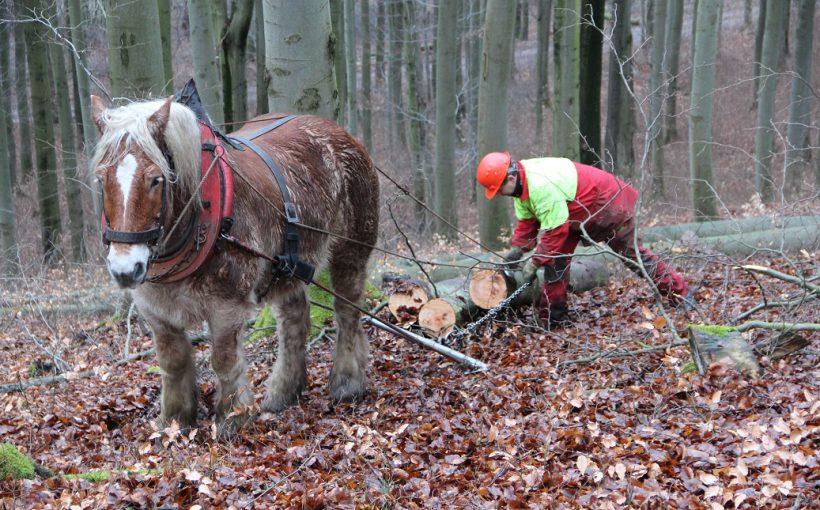 Holzrücken mit dem Kaltblutpferd. Foto: Dr. Horst Sproßmann