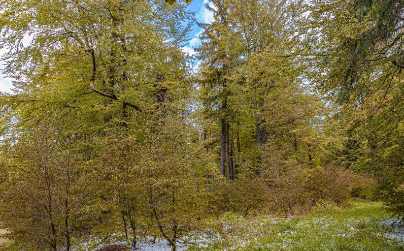 Herbstfärbung des Waldes im Mai nach Spätfrost