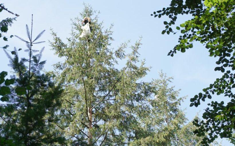 Samenernte an Forstbäumen Sproßmann