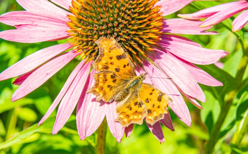 Insekt Schmetterling ThDreger